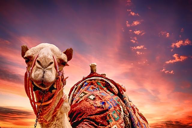 velbloud na poušti